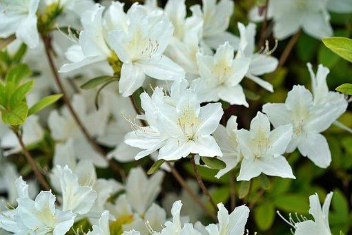 Azalea, Flowers, Plant, Petals, Glacier Azalea