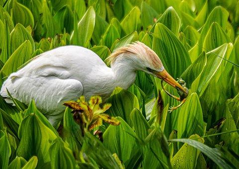 Heron, Frog, Plants, Prey, Predator, Great Egret, Bird