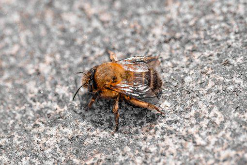 Bee, Insect, Asphalt, Honey Bee, Pavement, Ground