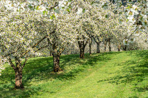 Cherry Trees, Meadow, Spring, Nature, Cherry Blossom