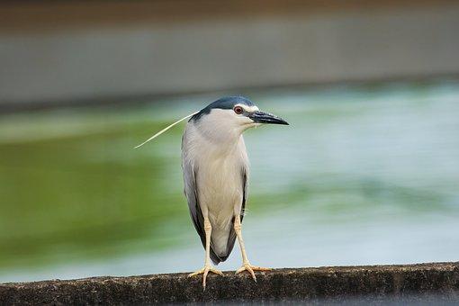 Night Heron, Bird, Animal, Perched