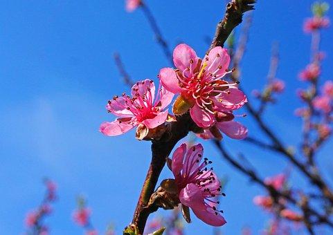 Trees, Flower, Spring, Peach