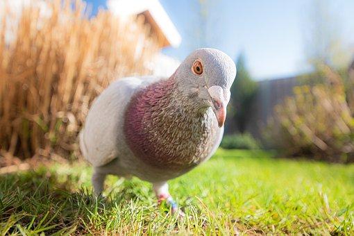 Pigeon, Bird, Animal, Nature, Feathers, Plumage, Beak