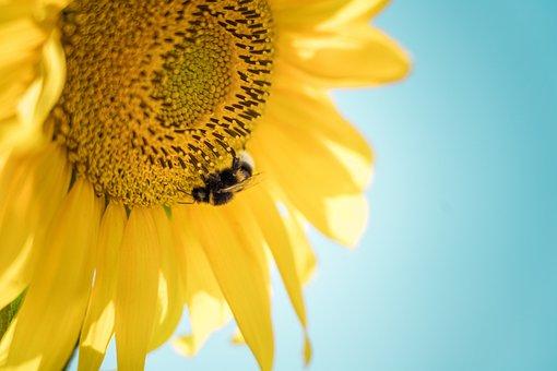 Sunflower, Bee, Pollinate, Pollen, Pollination