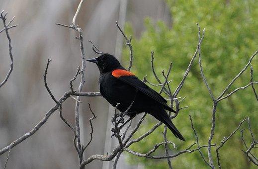 Blackbird, Red-winged, Bird, Perched, Wildlife