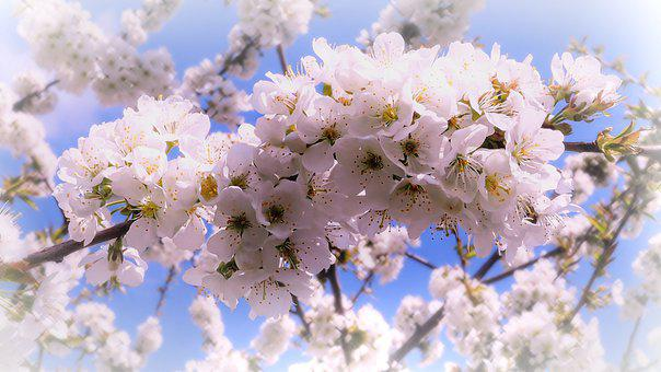 Cherry Blossom, Spring, Nature, New, Blossom, Bloom