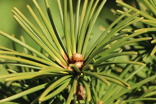 Umbrella Pine, Needles, Branch, Leaves