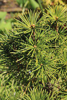 Umbrella Pine, Needles, Branches, Leaves