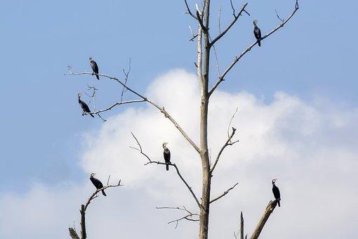 Cormorants, Bird, Animals, Water Birds, Bare Tree