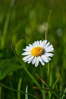Daisy, Flower, Plant, White Flowers, Bellis, Petals