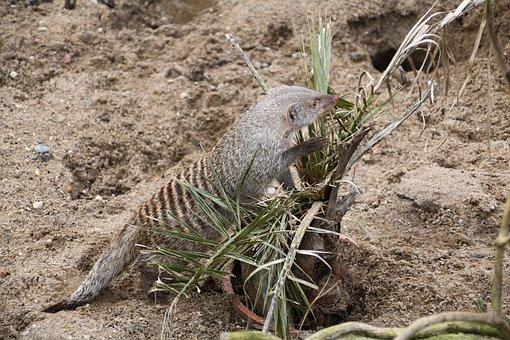 Banded Mongoose, Animal, Wildlife, Mongoose, Marsupial