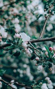 Apple Tree, Apple Blossom, Flower, Tree, Apple