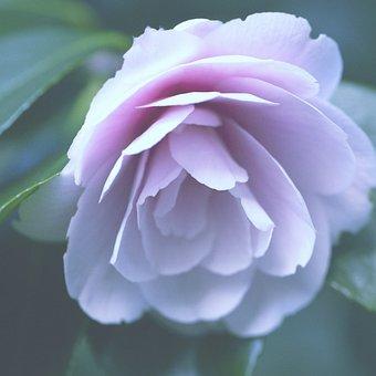 Camellia, Bloom, Japanese Garden, Flora, Blossom