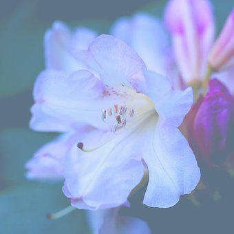 Rhododendron, Bloom, Nature, Spring, Plant, Blossom