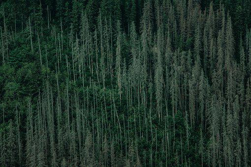 Mountain, Forest, Trees, Slope, Woods, Conifers