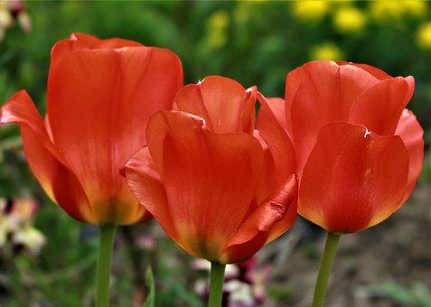 Summer, Tulip, Spring, Flowers, Nature, Easter, Blossom