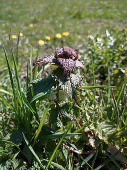 Deadnettle, Flower, Dead Nettle, Blossom, Bloom, Plant