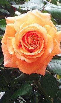 Rose, Flower, Petals, Flora, Plant, Nature, Coral Peach