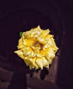 Rose, Flower, Dew, Dewdrops, Yellow Rose, Petals, Bloom