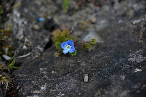 Flower, Plant, Rock, Stone, Persian Speedwell