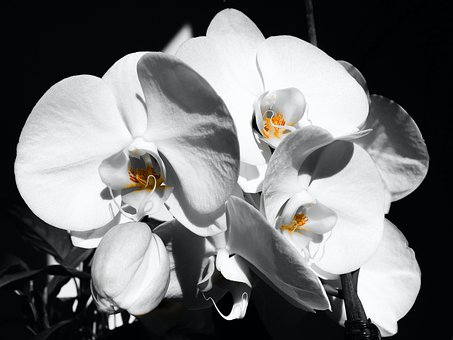 Orchids, Flower, White