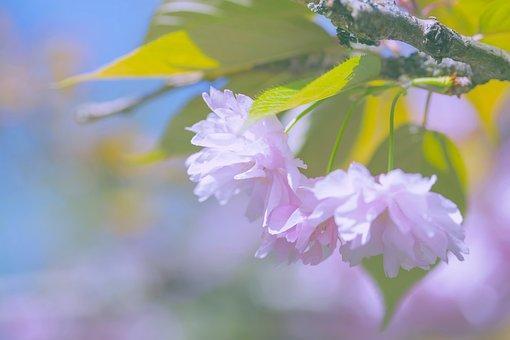 Sakura, Bloom, Spring, Flowers, Blossom, Nature, Flora