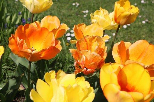 Yellow Tulips, Tulips, Spring, Yellow, Flowers, Nature