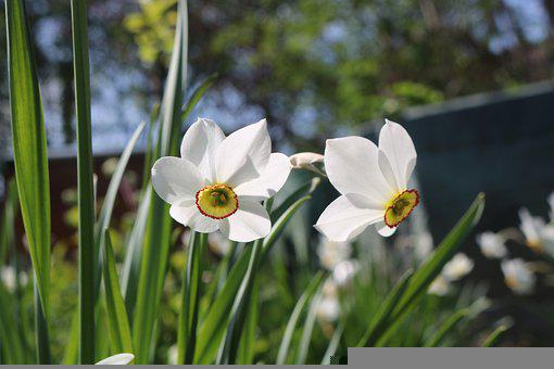 Narzisse, Frühling, Daffodil, Narcissus, Flower, Spring