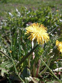 Dandelion, Flower, Nature, Grass, Plant, Spring, Macro