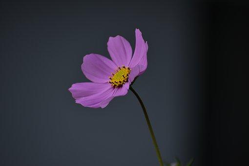 Mexican Aster, Flower, Aster, Garden, Bloom, Nature