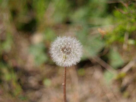Dandelion, Close Up, Flower, Pointed Flower, Macro