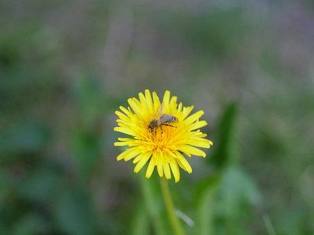 Dandelion, Bee, Flower, Pollen, Spring, Pollination