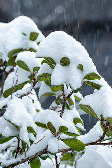 Snowfall, Snow, Leaves, Branch, Plant, Snowy, Frost