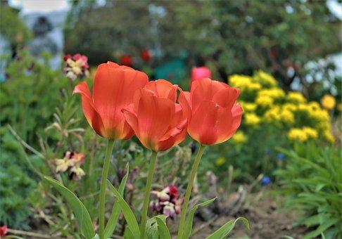 Tulip, Garden, Spring, Flowers, Nature, Blossom, Bloom
