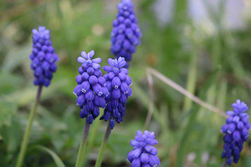 Traubenhyazinthen, Frühlingsblumen, Spring, Hyacinth