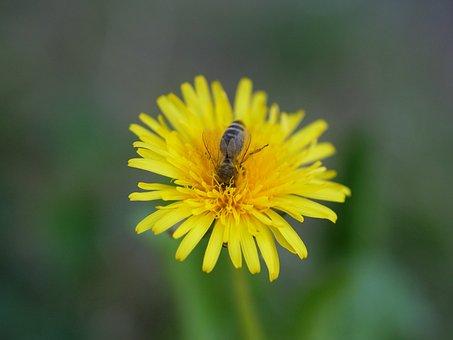 Dandelion, Bee, Flower, Honey Bee, Spring, Pollination