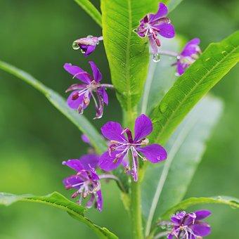 Fireweed, Wildflower, Summer, Flower, Nature, Plant