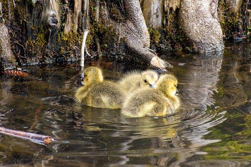 Ducklings, Chicks, Pond, Ducks, Birds, Waterfowls