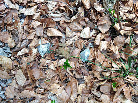 Leaves, Toad, Ground, Amphibian, Animal, Dried Leaves