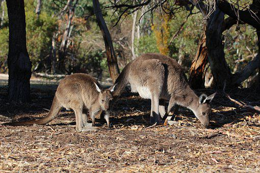 Kangaroos, Animals, Foraging, Juvenile, Young Animal
