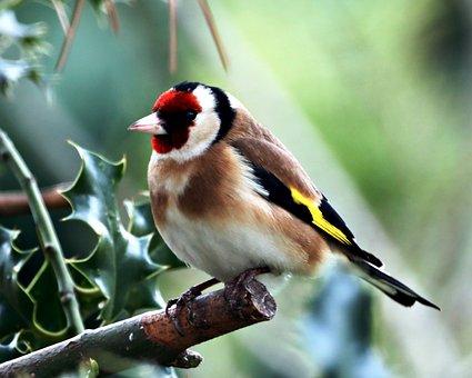 Goldfinch, Bird, Branch, Perched, Finch, Animal