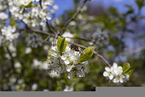 Insect, Flowers, Plant, Blackthorn, Sloe, Garden