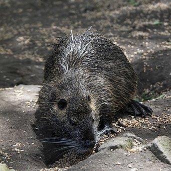Nutria, Animal, Rodent, Coypu, Water Rat