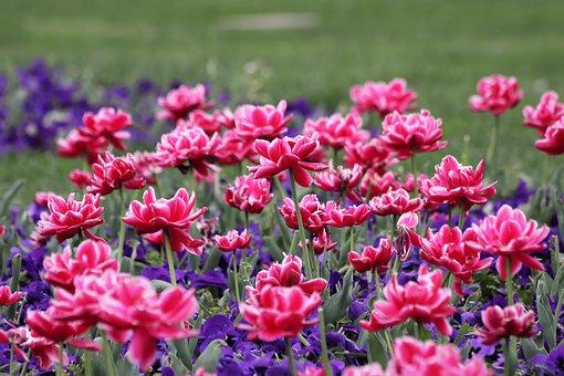 Flowers, Plants, Meadow, Tulips, Pink Tulips