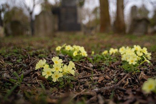 Wild Primrose, Flowers, Plants, Dried Leaves, Primrose