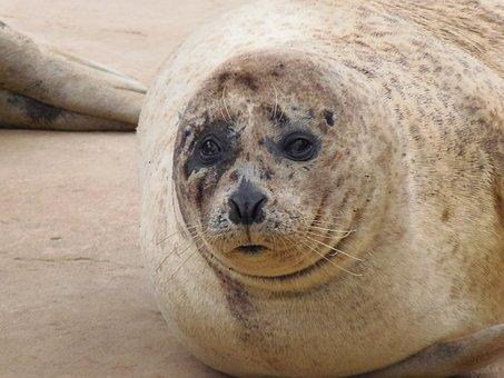 Seal, Animal, Wildlife, Mammal, Harbor Seal, Coast