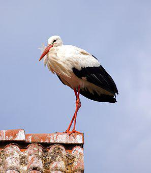 Stork, Bird, Rattle Stork, Roof, Feathers, Plumage, Ave