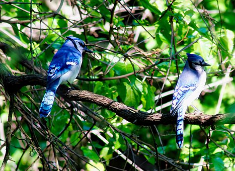 Birds, Blue Jays, Branches, Perched, Birdwatching