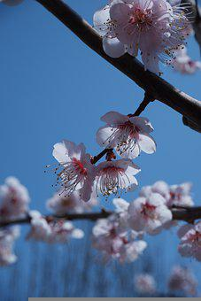 Pink Flowers, Cherry Blossoms, Flowers, Branches