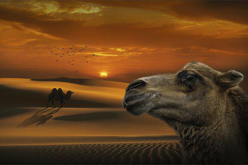 Desert, Camel, Sunset, Light And Shadow, Close-up